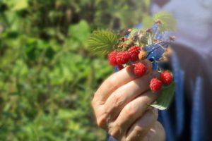Особенности-выращивания-ремонтантной-малины
