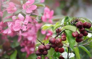 райсуие яблоки