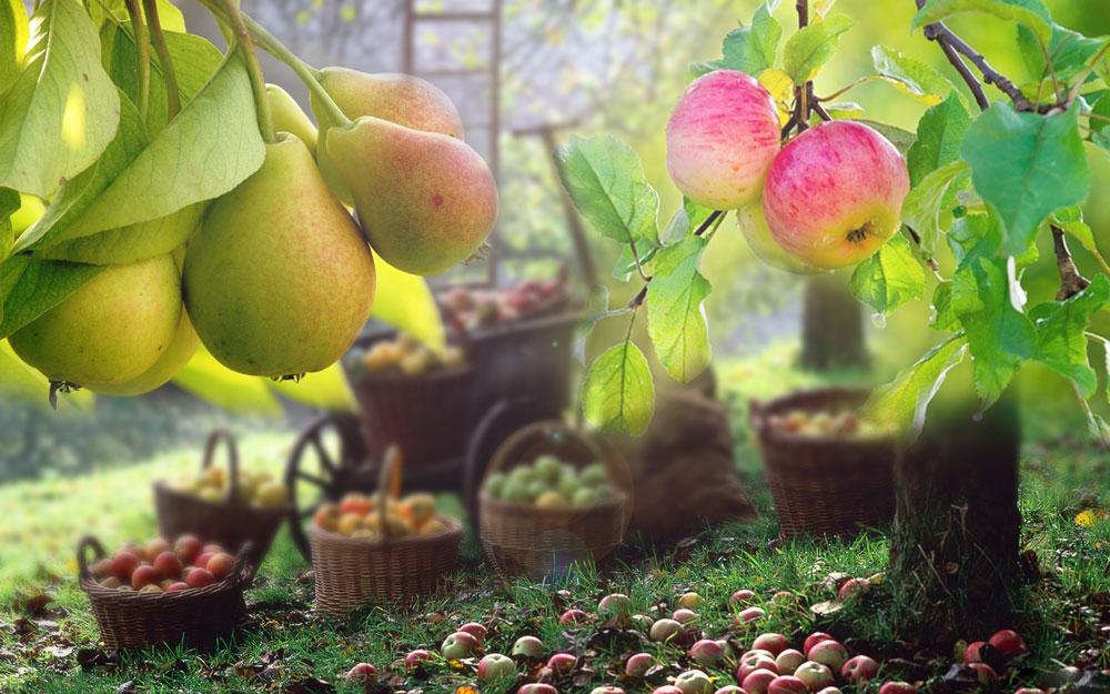 селекция-яблони-и-груши2