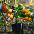 Как сажать и прививать абрикосы