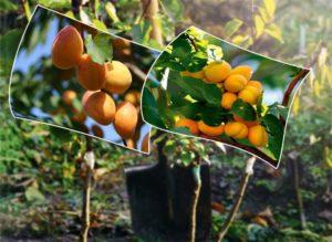 Как-сажать-и-прививать-абрикосы