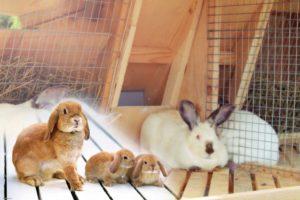 Работы,-проводимые-с-кормящей-или-лактирующей-крольчихой