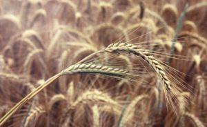агротехника-возделывания-озимой-ржи