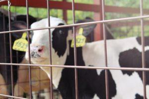 геном-молочной-прибыли