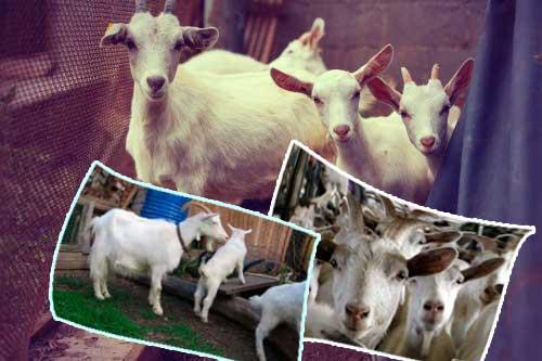 Русская белая коза – описание отечественной молочной породы 2020